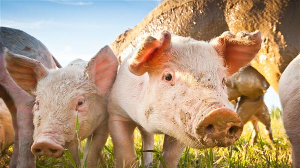 猪价7连跌,肉价再跳水,东北局地猪肉跌破18元,15元肉价来袭?