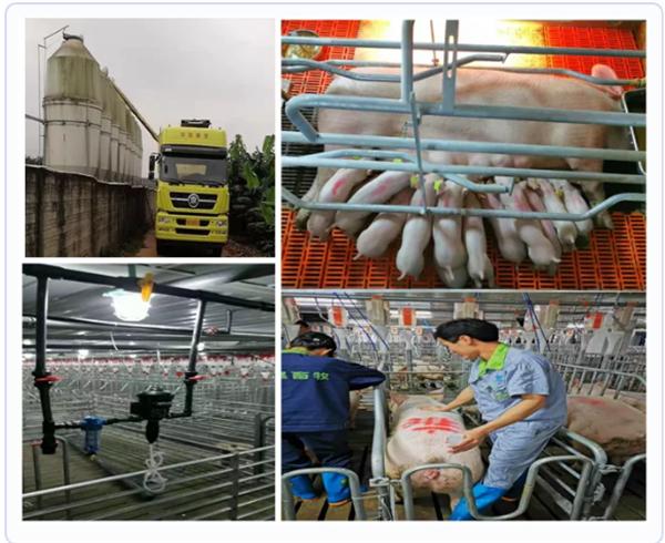 维护猪群黏膜的完整性有益于非洲猪瘟防控