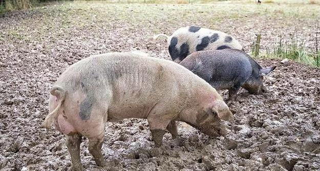 资深养猪人:关于猪胃出血,我是这样做的!