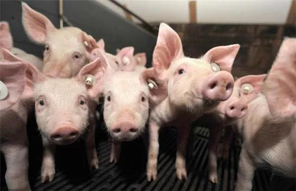 收藏!教你生长育肥猪该如何饲养和保健