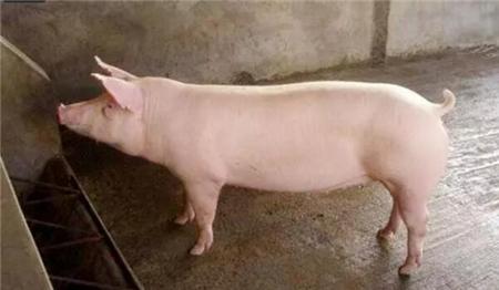 母猪屡配不孕99%和这种病有关系!