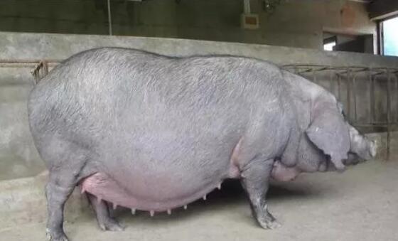 母猪预产期过7天还没动静,老兽医教你如何避免仔猪死亡...
