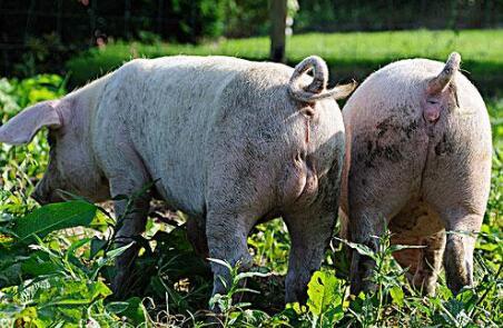 养猪技术的精髓总结,养猪人你做到了吗?