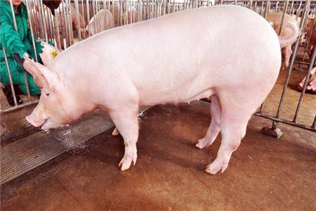 猪场如何选择优良的后备母猪?