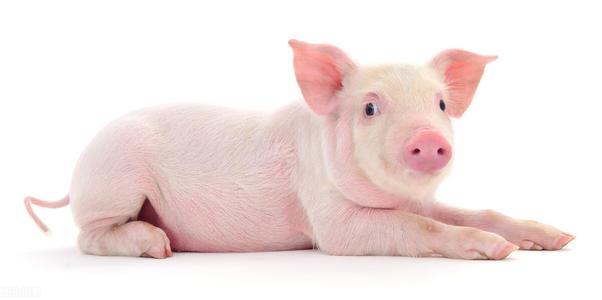 猪价大跌,又出新政!散养户苦不堪言,猪企仍然赚得盆满钵满?