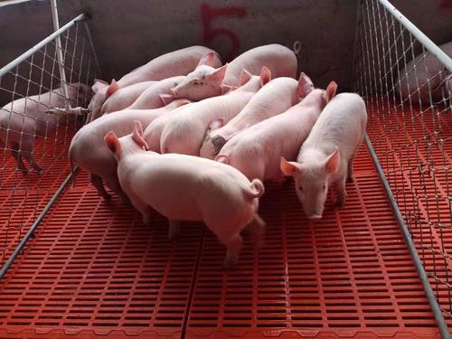 湖北打造3000亿元生猪全产业链,2025年生猪出栏稳定在4200万头