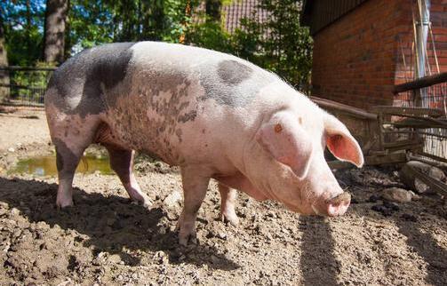 养猪常见的7个误区,你中了几条?
