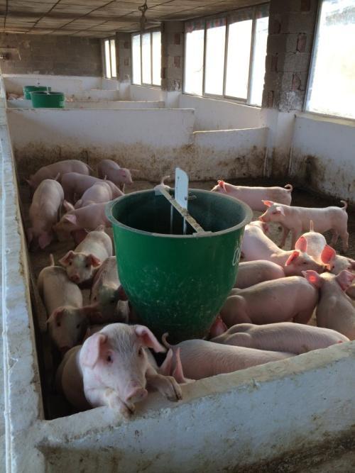 养猪户注意!猪只突然死亡、倒地该采取什么紧急措施?