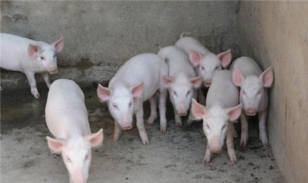 养猪人注意!近期有很多猪场中大猪死于此病