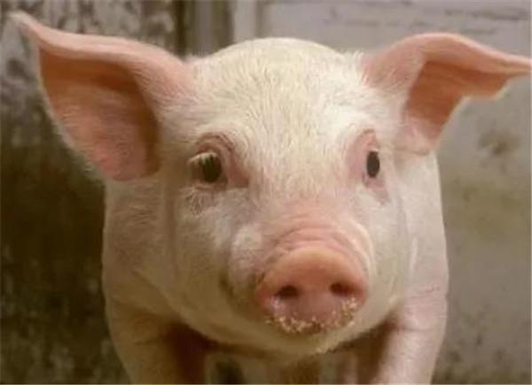 猪粮比9:1!猪价跌至自繁自养成本线....专家:猪价下跌幅度有望放缓