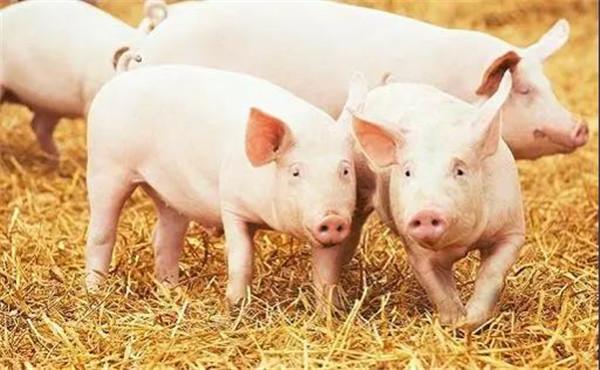 最低8.5元/斤!多省局地猪价跌破10元/斤,猪价何时止跌反弹?
