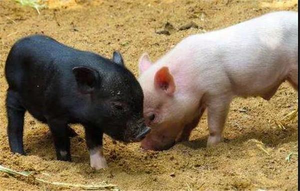 在没底式的跌法下,猪价还能涨吗?