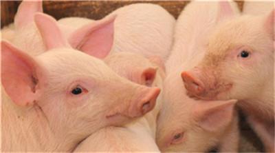 生猪生产恢复 完善调控政策措施