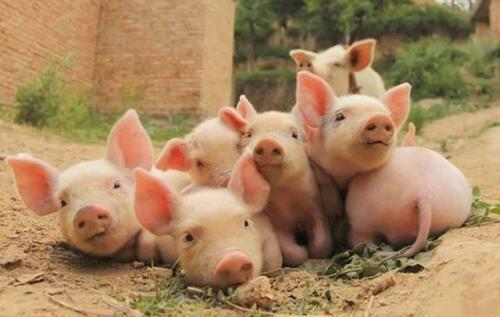 猪会莫名其妙地生病是咋回事?