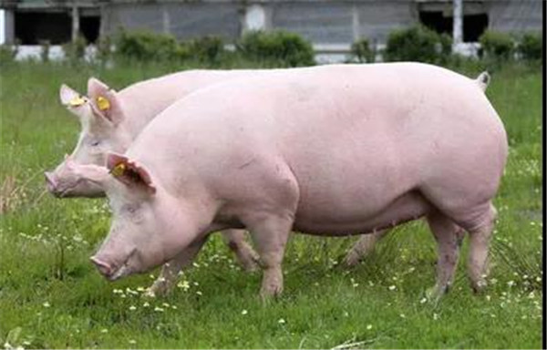 最新玉米、豆粕、饲料、猪、鸡价格表!农业部:猪价下跌空间有限,将会阶段性反弹