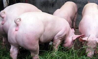 都知道断奶仔猪容易发生腹泻,但原因养殖户知道吗?