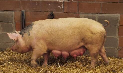 太揪心!近期猪场高发4种病,养猪人要重视!