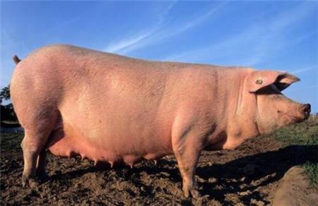怀孕母猪饲养道道多,牢记3点,产仔率绝对高!