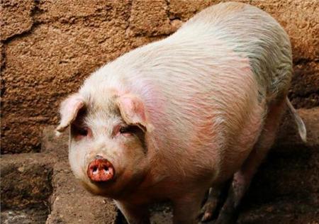 选育母猪一直是养猪户最头疼的问题!分享选育良种母猪5个技巧!