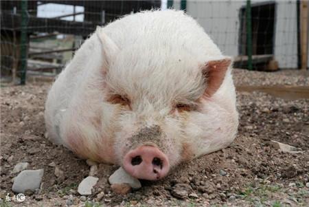 养猪户注意,春季冷热交替下防疫是重点!