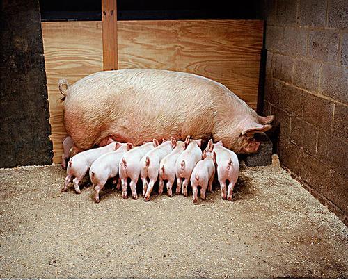 导致母猪淘汰率高的两大元凶,抓住重点就能防患于未然
