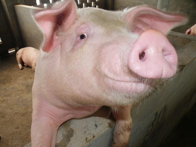 养猪到底防不防疫猪蓝耳病?听听专家如何说的!