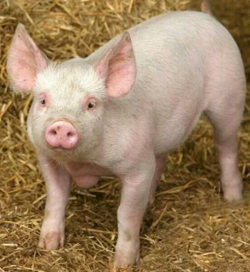 猪价反弹助推大猪消化,未来猪价是涨还是跌?