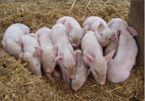 谈猪病技术之前,您先了解下哺乳仔猪死亡的原因...