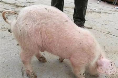 实战:兽医看过来,猪的化脓菌感染病例!