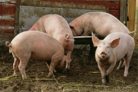 养猪需谨防猪胃肠臌气