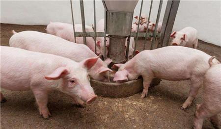 中医方法看猪病——五脏查找治疗