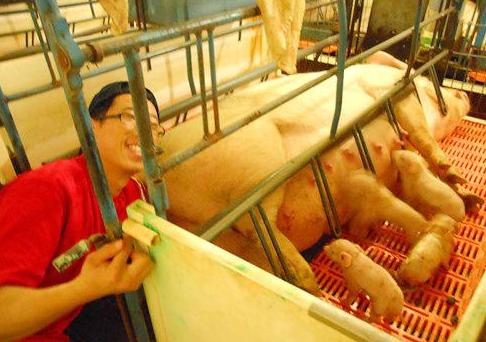 母猪生产时掏猪到底是用左手掏,还是右手掏?