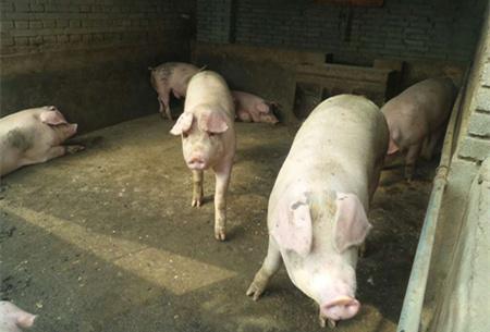 """种病猪,养猪人需要知道的两种治疗办法"""""""