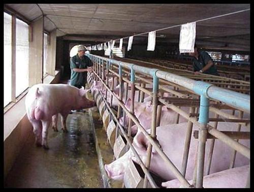 猪场断奶小猪拉稀损失大,养猪人应该如何解决?