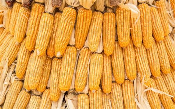 玉米市场慢慢步入稳定,成震荡趋势运行!