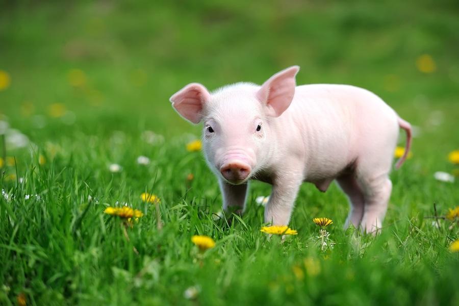 正邦科技:利润爆发拐点即将来临,2021年生猪销售目标不低于2000万头,实现净利润100亿元