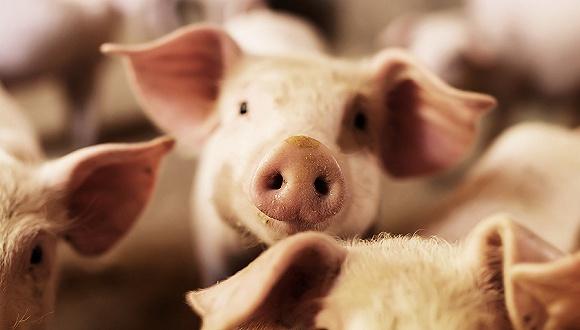 """猪企碰上""""杀猪盘"""",专家:两三年内生猪存栏将达7-8亿,猪周期要见底?"""