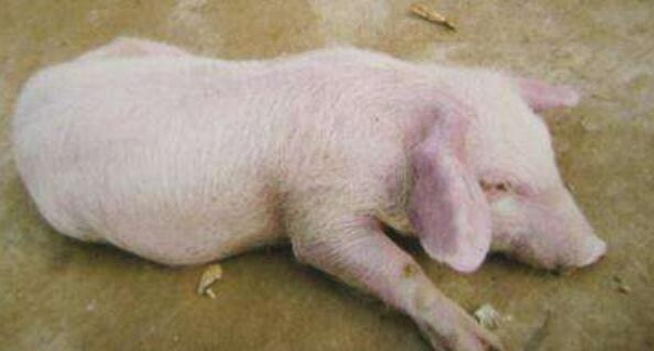 不可忽视的猪弓形虫病防治对策