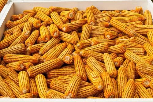 玉米加速下跌,为何连跌不止?4个关键因素!