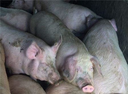 猪场发病,诊断一波三折,最终死了60头肥猪才找到根本原因!