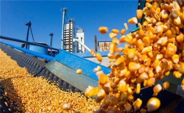五月份粮源上市将超2000万吨 玉米面临暴跌200的可能