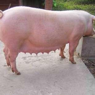 几种原因引起的母猪繁殖障碍的防制措施