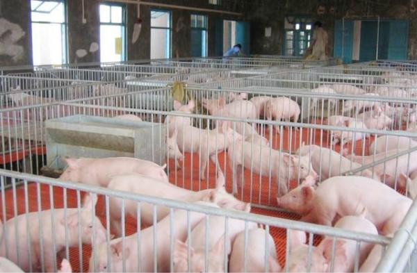 小体重猪涌入市场,加快猪价下跌,后续猪价怎么走?
