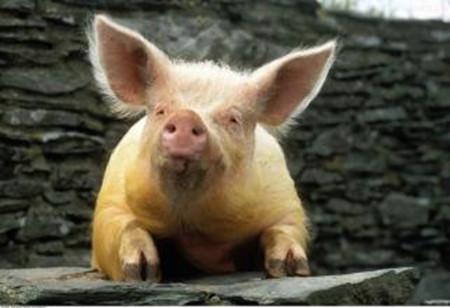 解析圆环病毒和副猪及链球菌病经常一起发病的原因?