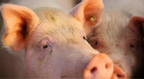 """一天上涨1.8%!猪价坐上了""""过山车"""",后续怎么走?有个因素一定不能忽略"""
