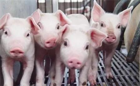 """""""护士下乡 五菜一汤""""之保育猪生理调控方案"""