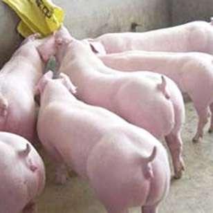 猪场常见的6种伴有呕吐症状的中毒疾病,你了解吗?