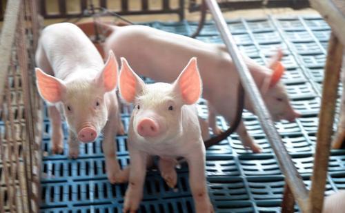 环境——猪的第二大病——呼吸道病,是怎么发生的?