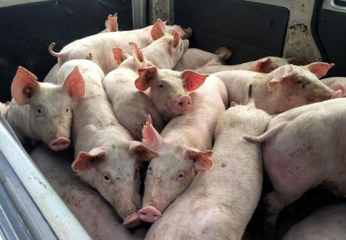 教你轻松识别6种引起猪瘸腿站不起来的病症及治疗方法