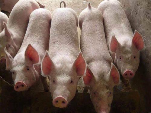 养猪利润被双重打压 深度参与生猪期货是必然趋势